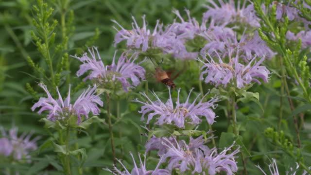 hummingbird moth hovers over purple monarda flowers, wide shot - ベルガモット点の映像素材/bロール