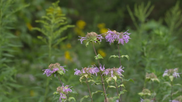 hummingbird moth on purple monarda flowers, wide, high speed fly-away - ベルガモット点の映像素材/bロール