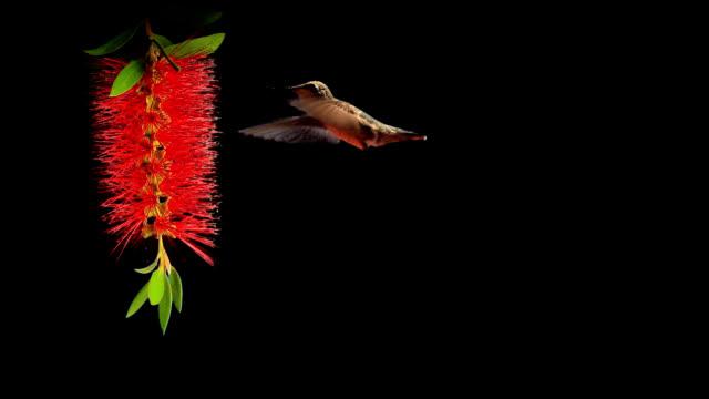 Hummingbird on a Bottlebrush flower