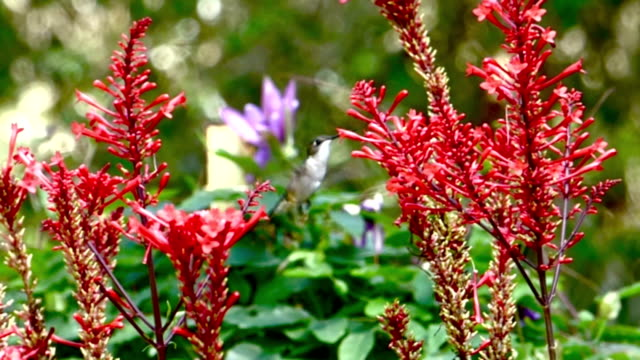 hummingbird on red flowers in slow motion - ruby throated hummingbird stock videos and b-roll footage