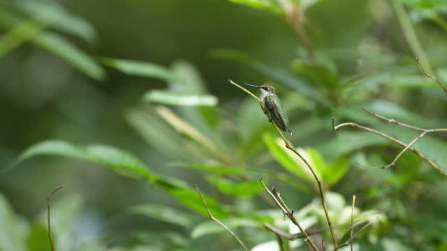 hummingbird perched on twig branch in green forest,, static - ruby throated hummingbird stock videos and b-roll footage