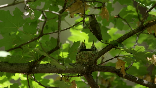 hummingbird perches in maple tree with their chicks - young bird stock videos & royalty-free footage