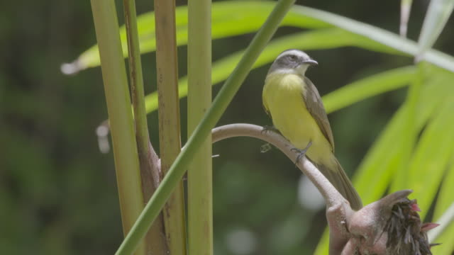ms hummingbird perching on twig / panamá province, panama - perching stock videos & royalty-free footage