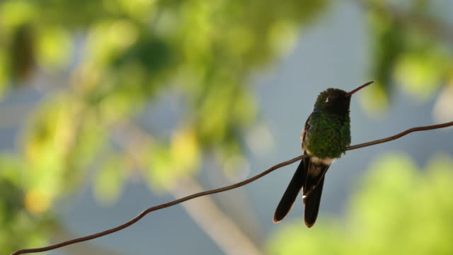 Hummingbird sits on a wire