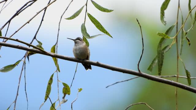 hummingbird sitting on tree branch - zweig stock-videos und b-roll-filmmaterial