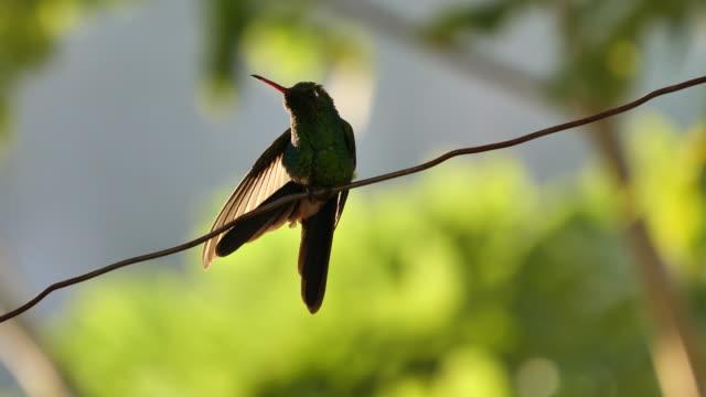 vídeos de stock e filmes b-roll de hummingbird stretches - bico