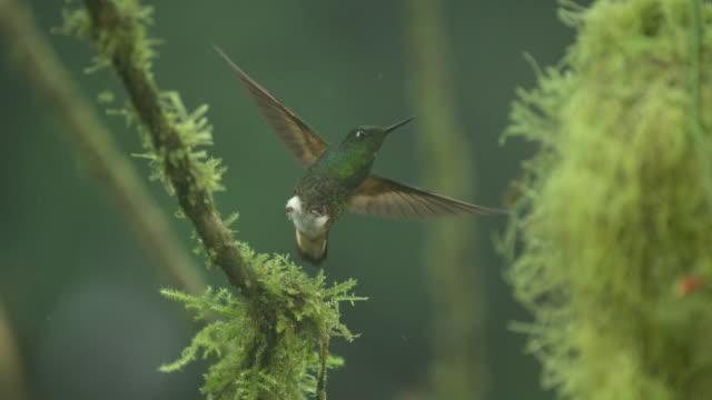 Hummingbird (Trochilidae) takes off and hovers in rain, Ecuador