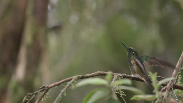 hummingbird (trochilidae) takes off in forest, ecuador - hummingbird stock videos and b-roll footage