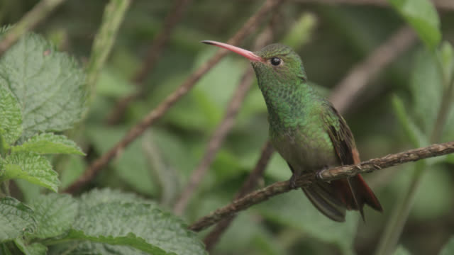 Hummingbird (Trochilidae) takes off in forest, Ecuador