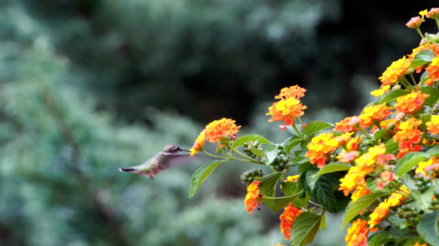 hummingbird - head back stock videos & royalty-free footage