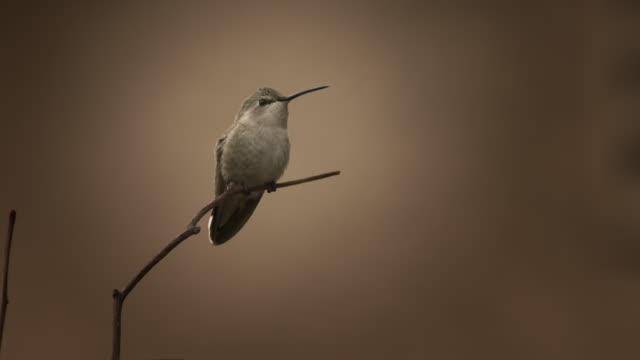 kolibri - kolibri stock-videos und b-roll-filmmaterial