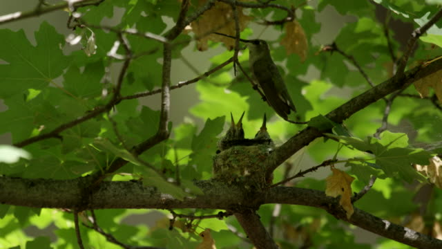 hummingbird visits chicks in maple tree - young bird stock videos & royalty-free footage