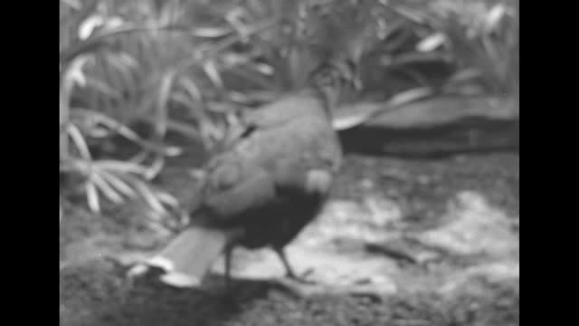 vídeos de stock, filmes e b-roll de hummingbird with long tail flits around water / crowned pigeon struts around / birds on sand some sandpipers and some oystercatchers / cu sign on... - pilrito