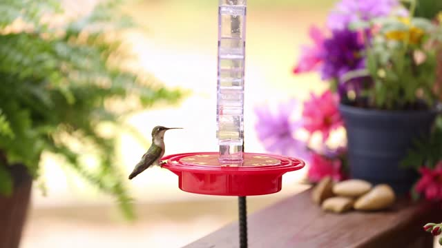 hummingbirds at a feeder in the springtime. - feeding stock videos & royalty-free footage