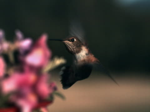 vídeos de stock, filmes e b-roll de hummingbird's close-up approach - hummingbird