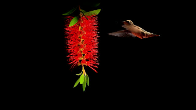 hummingbirds feeding - hovering stock videos & royalty-free footage