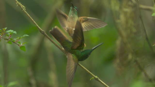 hummingbirds (trochilidae) fight in forest, ecuador - hummingbird stock videos and b-roll footage