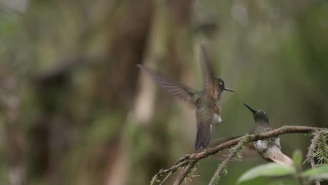 Hummingbirds (Trochilidae) fly in forest, Ecuador
