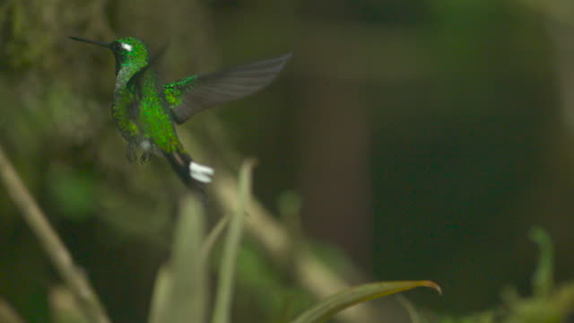 hummingbirds (trochilidae) fly in forest, ecuador - hummingbird stock videos and b-roll footage