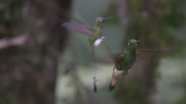 hummingbirds (trochilidae) hover in forest, ecuador - hummingbird stock videos and b-roll footage