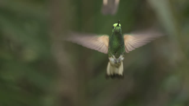 vídeos de stock, filmes e b-roll de hummingbirds (trochilidae) in forest, ecuador - hummingbird