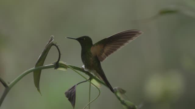 Hummingbirds (Trochilidae) in forest, Ecuador