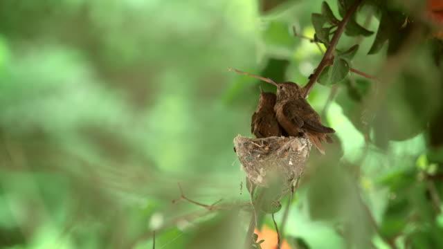 hummingbirds - kolibri stock-videos und b-roll-filmmaterial