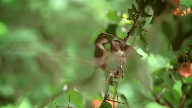 vidéos et rushes de hummingbirds - nid d'oiseau