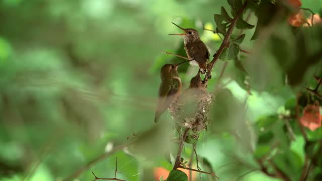 vídeos de stock, filmes e b-roll de hummingbirds - grupo pequeno de animais