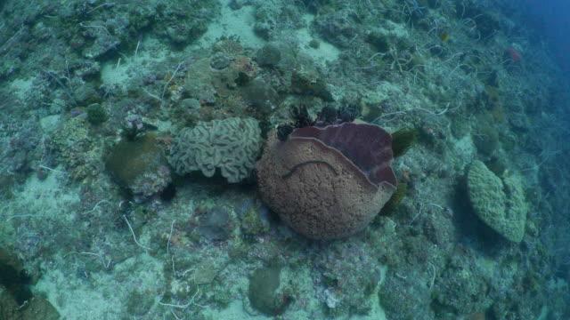 vídeos y material grabado en eventos de stock de joroba de coral látigo, coral, arrecife submarino, esponja de mar - esponja