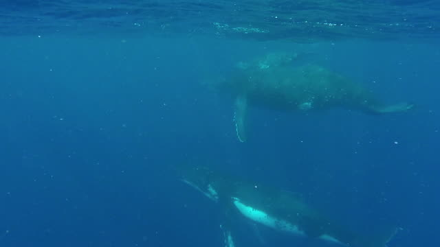 humpback calf and it's mother swimming at the surface accompanied by an escort. - cetacea stock videos & royalty-free footage
