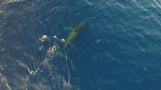 vídeos y material grabado en eventos de stock de humpback mother and calf aerial view - two animals