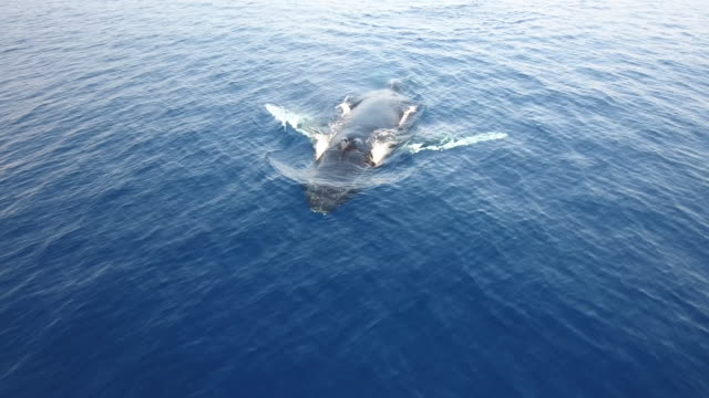 Humpback Surfacing, Aerial View