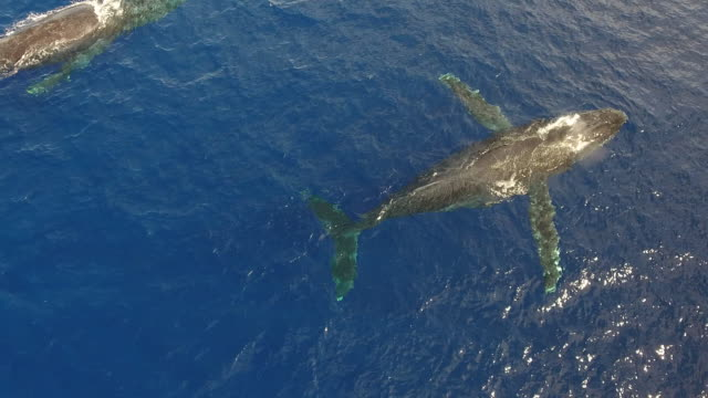 Humpback Whale Aerial View