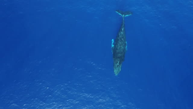 humpback whale aerial view - minke whale stock videos & royalty-free footage