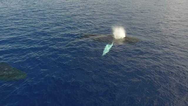 vídeos de stock, filmes e b-roll de humpback whale aerial view - espiráculo