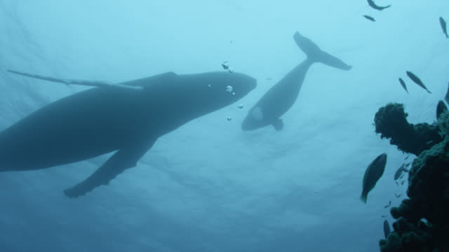 humpback whale and calf over coral reef - kalb stock-videos und b-roll-filmmaterial