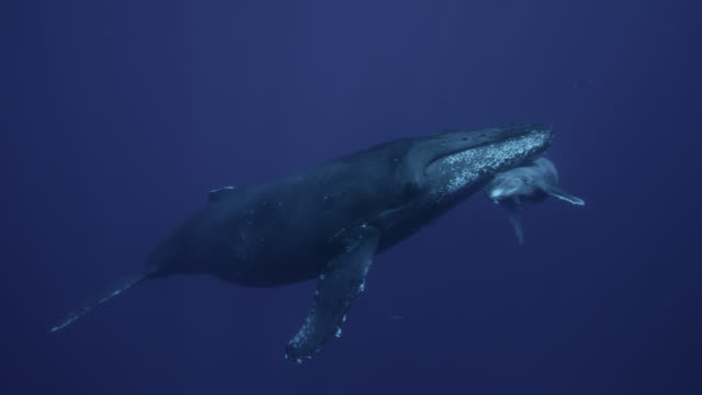 humpback whale and calf rest in calm ocean - buckelwal stock-videos und b-roll-filmmaterial