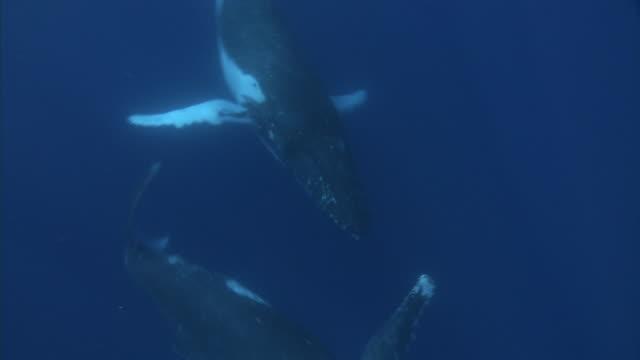 Humpback whale (Megaptera novaeangliae) and calf swim in blue ocean, Tonga