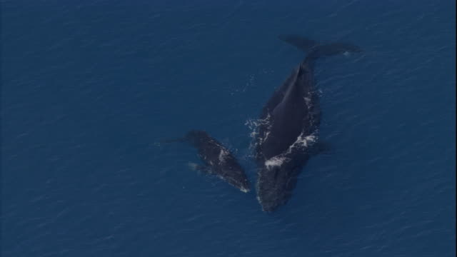 a humpback whale and her calf surface. available in hd. - buckelwal stock-videos und b-roll-filmmaterial