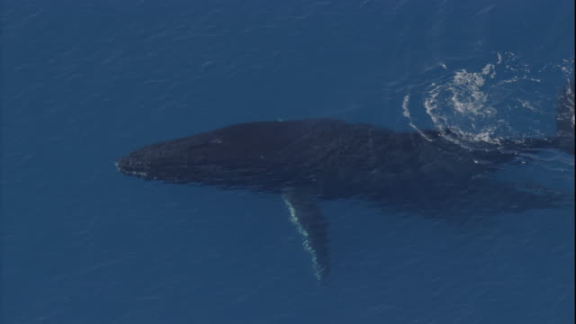 a humpback whale and her calf surface, spout, and dive. available in hd. - calf stock videos and b-roll footage
