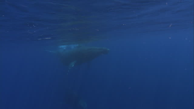 A humpback whale and her calf swim ahead of another humpback whale. Available in HD.