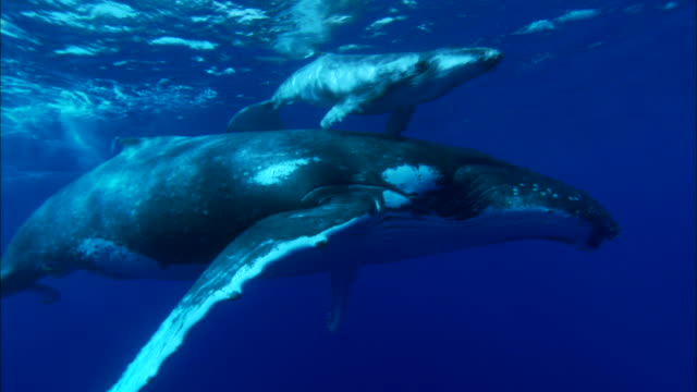 stockvideo's en b-roll-footage met humpback whale and its calf swimming underwater - walvis