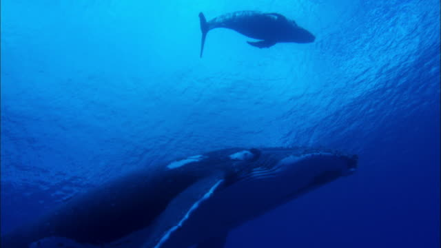 Humpback Whale and its calf swimming underwater