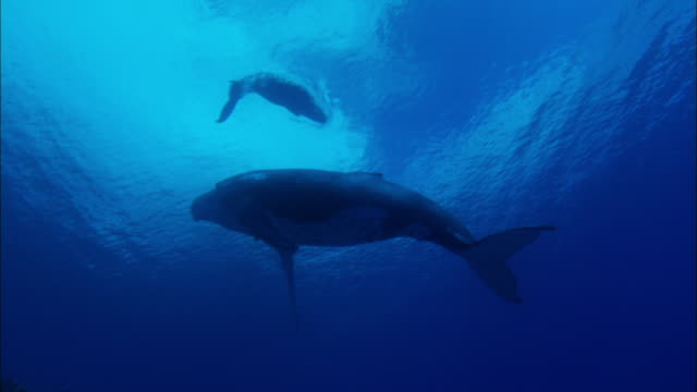 humpback whale and its calf swimming underwater - buckelwal stock-videos und b-roll-filmmaterial