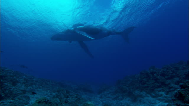 humpback whale and its calf swimming underwater - kalb stock-videos und b-roll-filmmaterial
