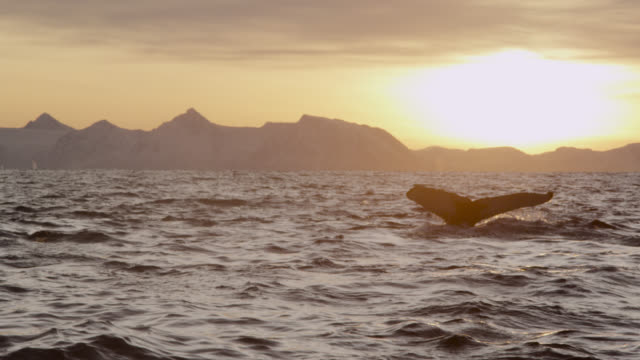 humpback whale and killer whales at sunset, norway - cetacea stock videos & royalty-free footage