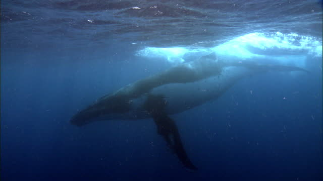 humpback whale (megaptera novaeangliae) at surface of blue ocean, tonga - humpback whale stock videos & royalty-free footage