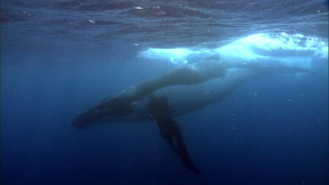 vídeos de stock e filmes b-roll de humpback whale (megaptera novaeangliae) at surface of blue ocean, tonga - baleia de bossas