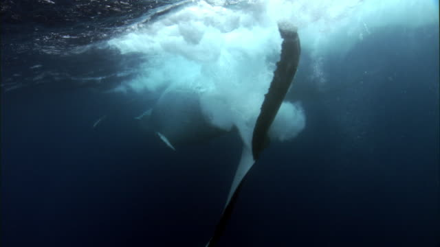 humpback whale (megaptera novaeangliae) at surface of blue ocean, tonga - tail stock videos & royalty-free footage